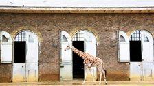 London Zoos and City Farms - The Grade II listed Giraffe House, built 1836-7
